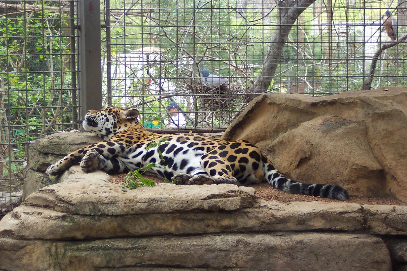 Jaguar San Antonio >> Lagniappe San Antonio Zoo Photographs