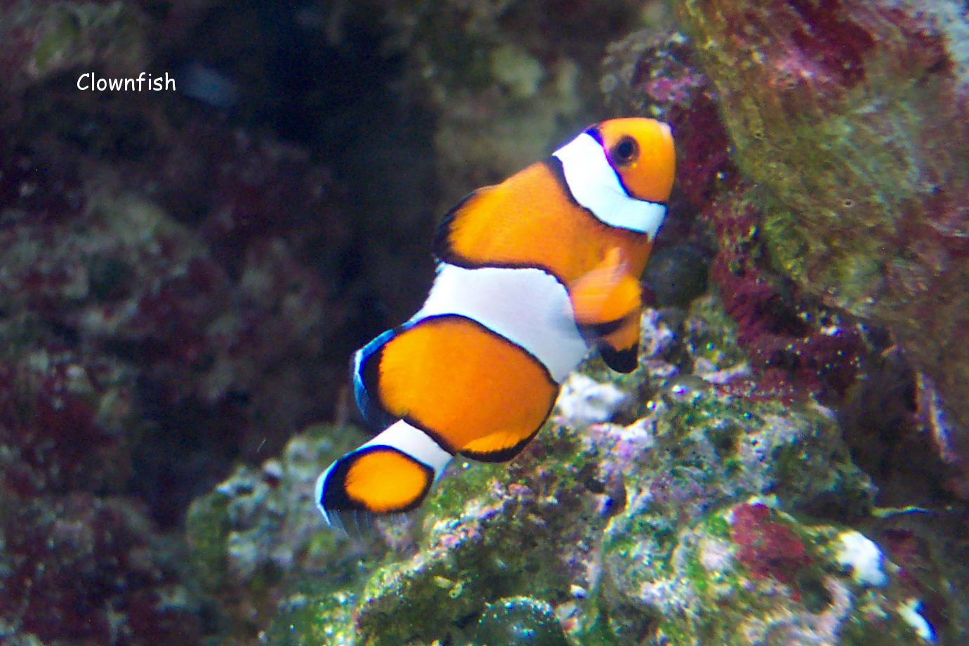 Blue clown fish for Blue clown fish