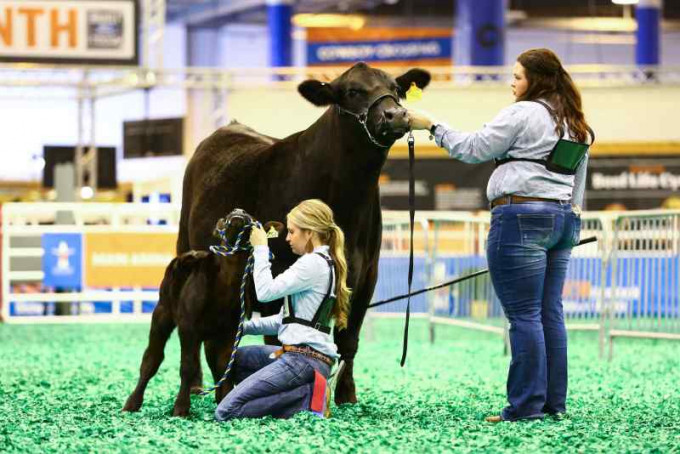 Students prepare for a stock show.