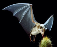 <strong>Mexican long-nosed bat</strong>