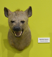 ASU's spotted hyena specimen in the TTU Museum exhibit