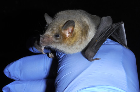 A Mexican long-nosed bat native to Southwest Texas