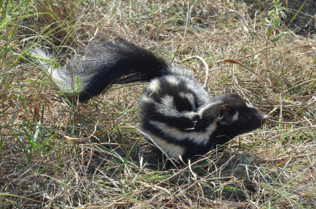 A plains spotted skunk - Photo by Dr. Robert Dowler