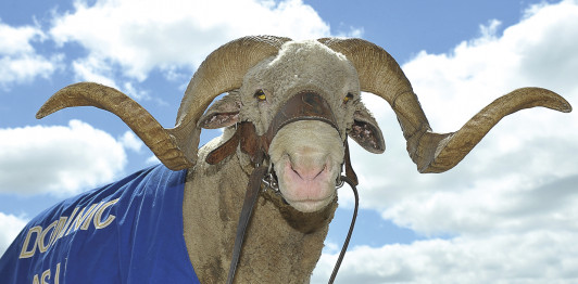 The Agriculture Department's Block & Bridle Club is in charge of ASU's Rambouillet Ram mascot, Dominic.