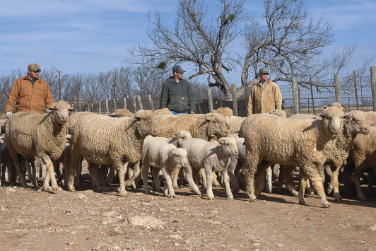 Our students work with Rambouillet sheep, as well as Angus cattle, Suffolk and Hair sheep, and Boer goats, at the ASU Ranch.
