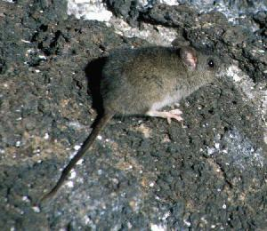 Endemic Galapagos rat, Nesoryzomys narboroughi. (Photo by R.C. Dowler).