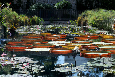 International Water Lily Collection