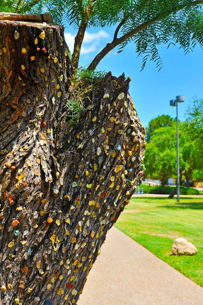 Gum Tree covered in pieces of gum