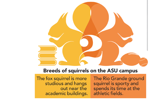 2 Breeds of squirrels on the ASU campus: The fox squirrel is more studious and hangs out near the academic buildings. The Rio Grande ground squirrel is sporty and spends its time at the athletic fields.