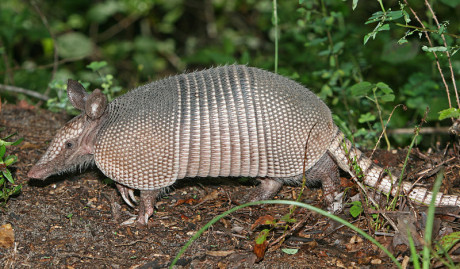 Photo of a nine-banded Armadillo