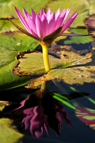 International Waterlily Collection